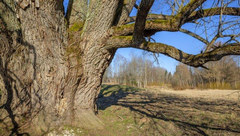 ФОТО. Как выглядит самая большая ива в Балтии