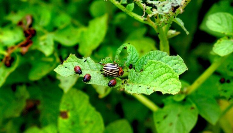 Sūrojas par laputīm, lapu blusiņām un citiem kaitēkļiem dārzā: vai šogad to vairāk nekā pērn?
