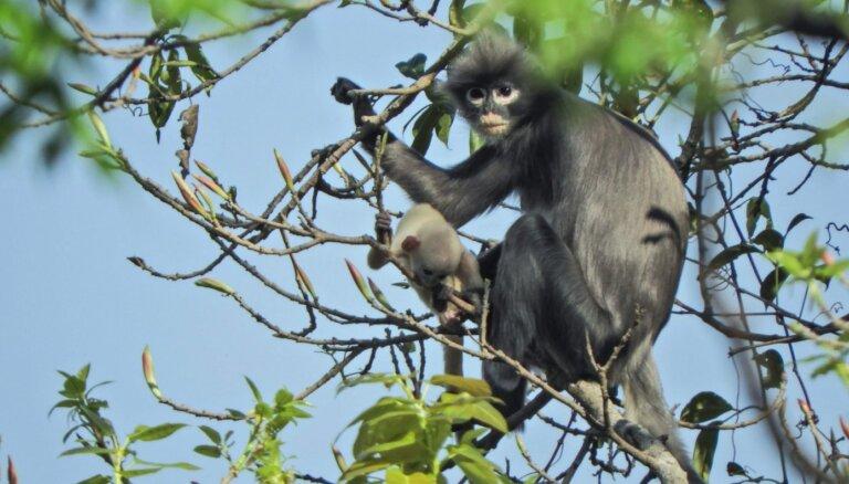 Tuvu izmiršanas robežai: tikko klasificēta primātu suga kritiski apdraudēta