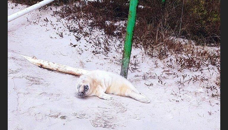Foto: Mērsraga pludmalē manīts ronis – 'novārdzis, bet dzīvotspējīgs'