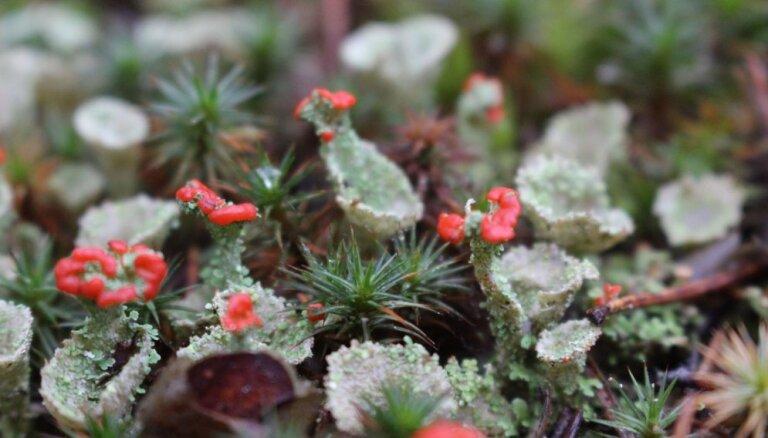 Foto: 'Ziediņi' sūnās un pūpoli plaukumā – decembra izskaņas atradumi Buļļu mežā