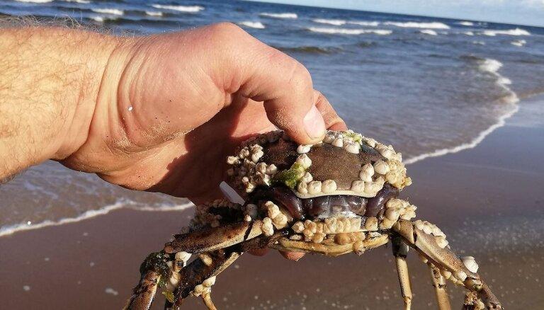 ФОТО: Читатель нашел на пляже в Гарциемсе Китайского мохнаторукого краба
