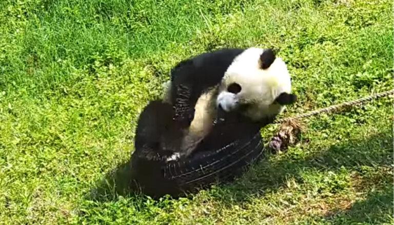 Amizants video: Pandu lācis cenšas ietilpt riepā