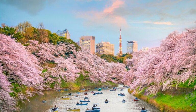 Pavasara vēstneses sakuras: ieteikumi ceļojumiem uz Japānas ķiršu dārziem