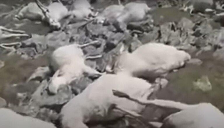 Gruzijā zibens nosper 500 aitas