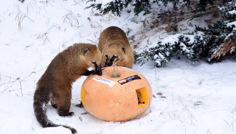 ФОТО. В Рижском зоопарке открылся новый домик для носух и начались Зимние ночи