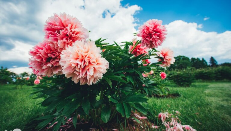 ФОТО. В Калснавском дендрарии цветет одна из крупнейших в Балтии коллекций пионов