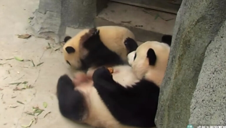 Amizants video: Pandu māmiņa nedalās gardumā un ar kāju atgrūž mazuli