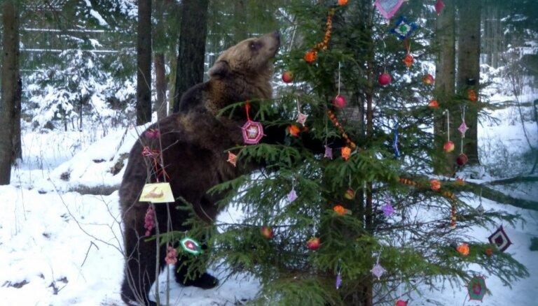 Svētki sev un meža zvēriem – Līgatnes dabas takās gatavos ēdamos rotājumus