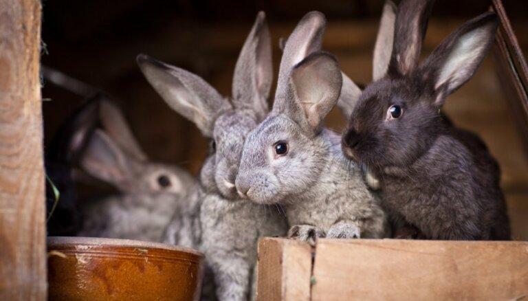 Новый вирус в США уничтожает кроликов