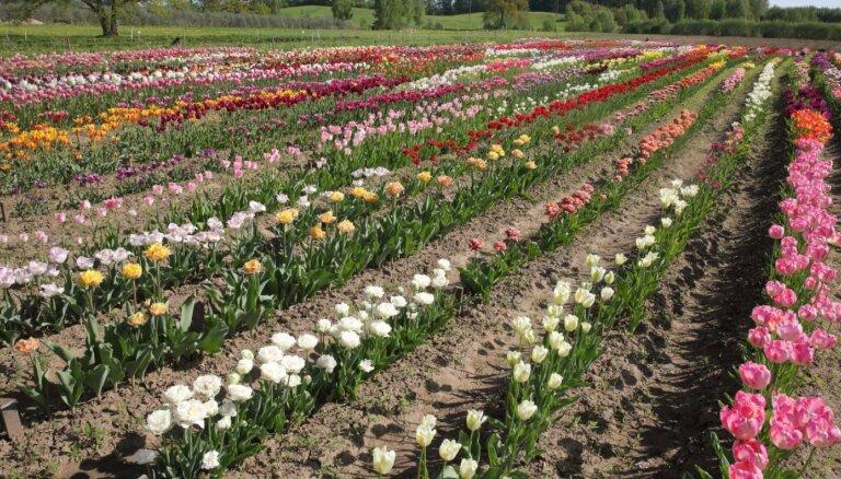 Vietas Latvijā, kur šobrīd baudīt pavasara ziedu skaistumu