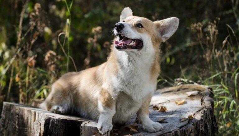 10 собачек на коротеньких лапках, которые вызывают только умиление