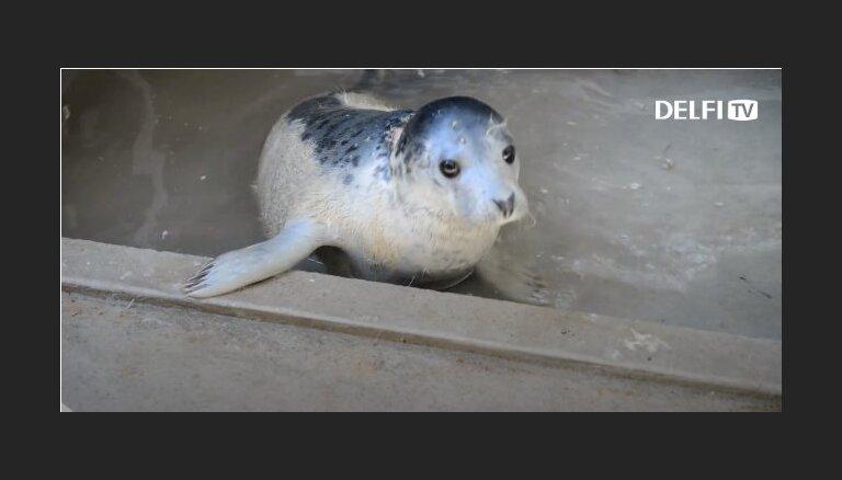 Uz Zviedriju dosies pavasarī Ventspils pludmalē izglābtā roņu meitene