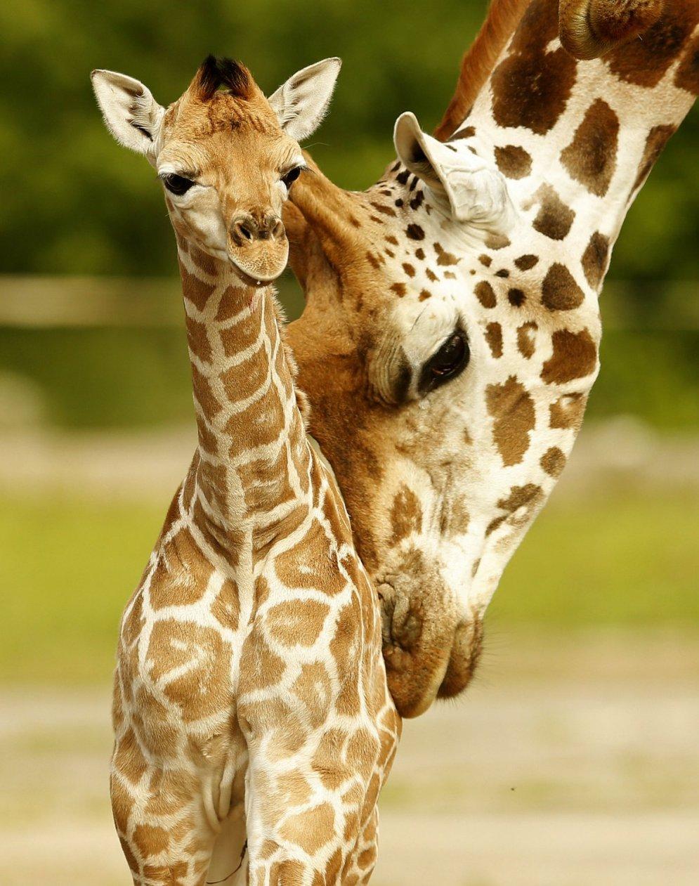 человек фотки и картинки жирафа нечасто, иногда