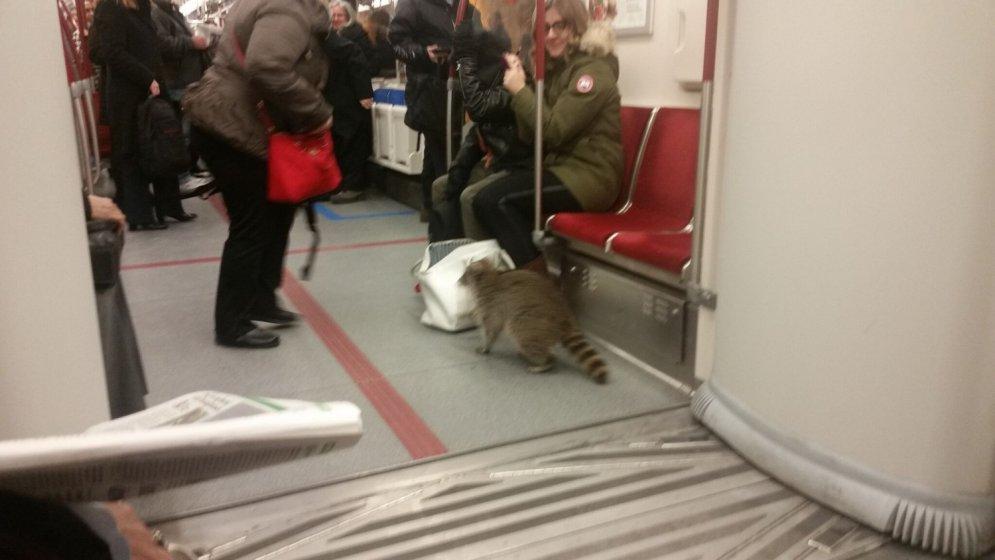 Kanādiešu jenots pārbauda somiņas saturu metro