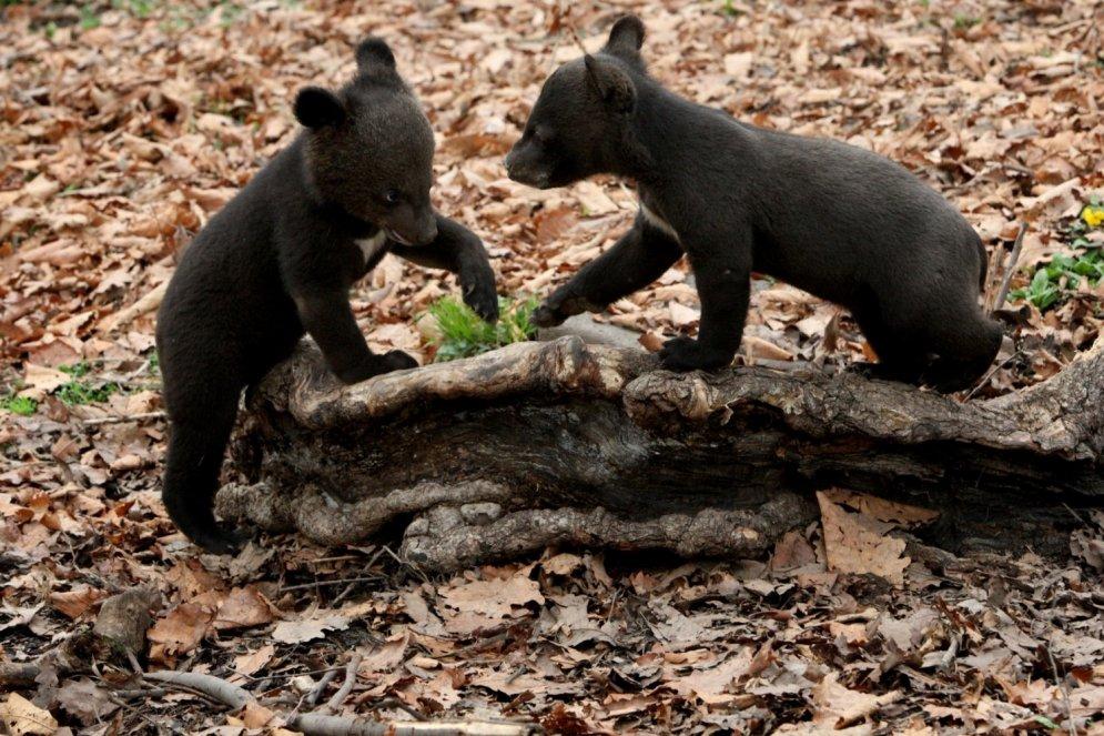 Baisais mīts izrādās patiess: pa Krieviju tiešām klīst lāči