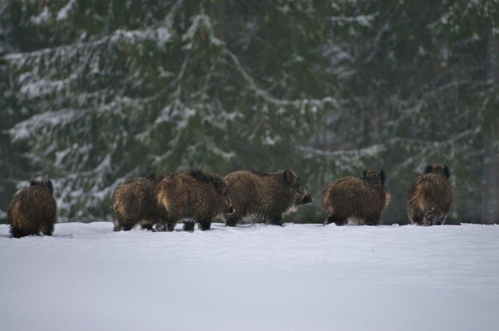 Meža zvēru dzīve ziemā