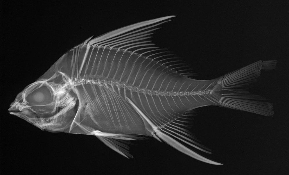 Unikāli kadri: Kā jūras iemītnieki izskatās rentgena staros