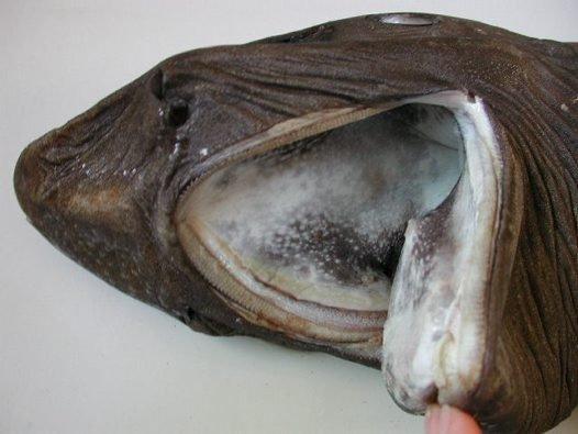 Pie Skotijas krastiem noķerta haizivs ar īpaši neglītu seju