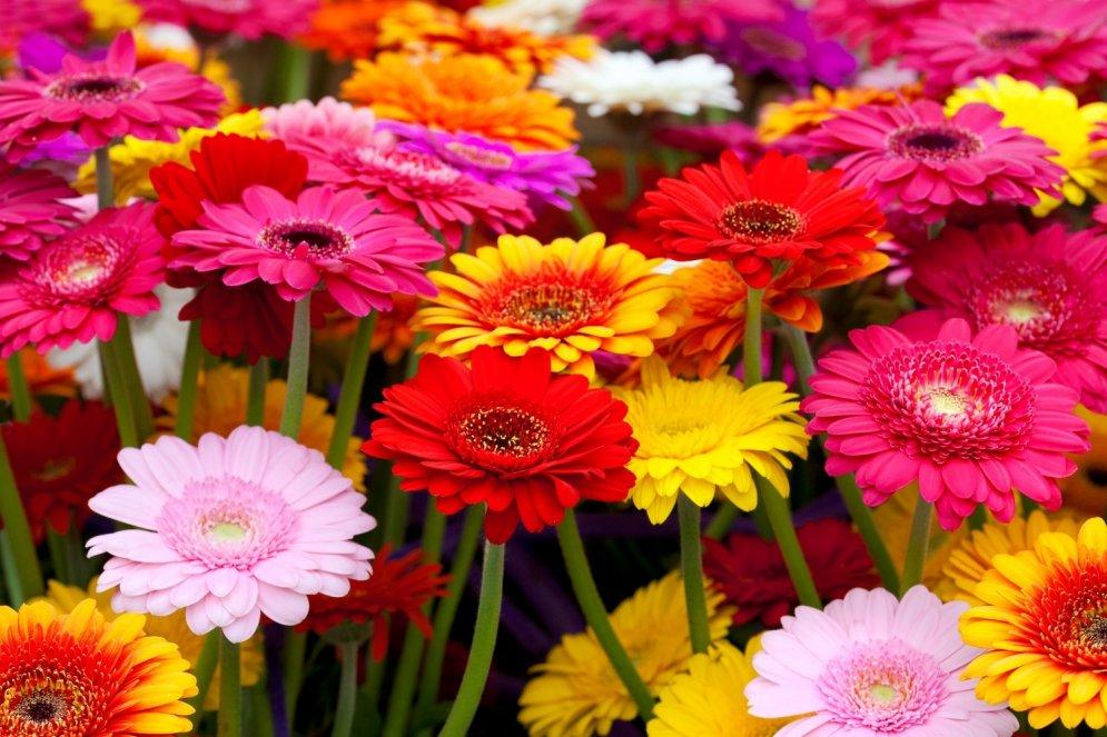 Цветы как ромашки название