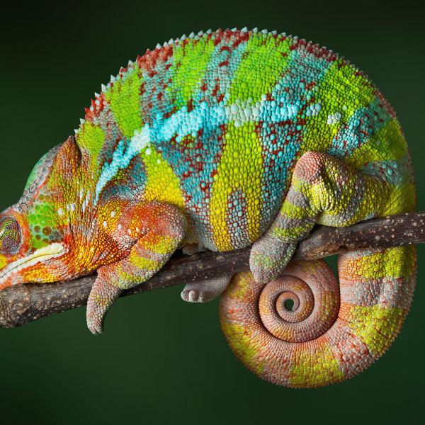 Hameleons