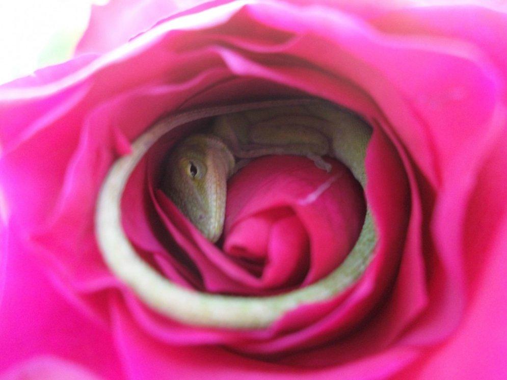 Unikāls skats: ķirzaka sev uztaisījusi gultiņu no... rozes