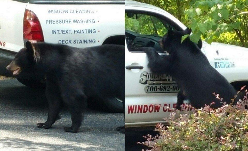 Unikāls skats: grizli lācis iekāpj mašīnā un apēd pusdienas