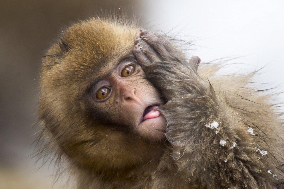 Smieklīgi foto: Pērtiķis ar īpaši stulbu sejas izteiksmi
