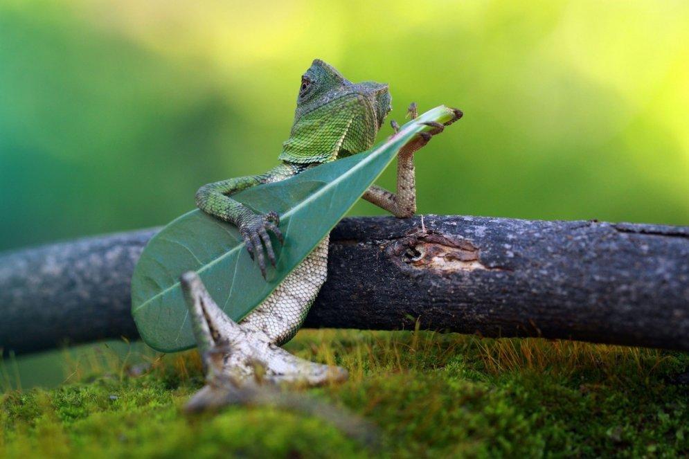Interneta varone: liderīga ķirzaka, kas spēlē 'ģitāru'