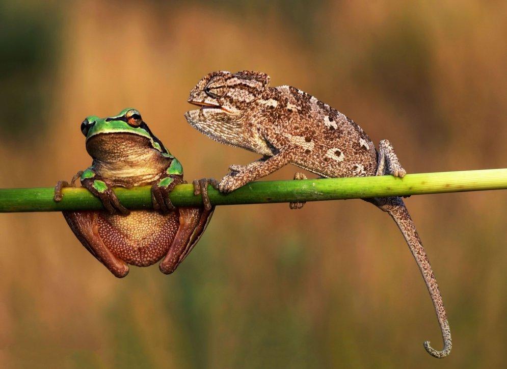 Muļķību nomocīts hameleons iemāca vardei aizvērties