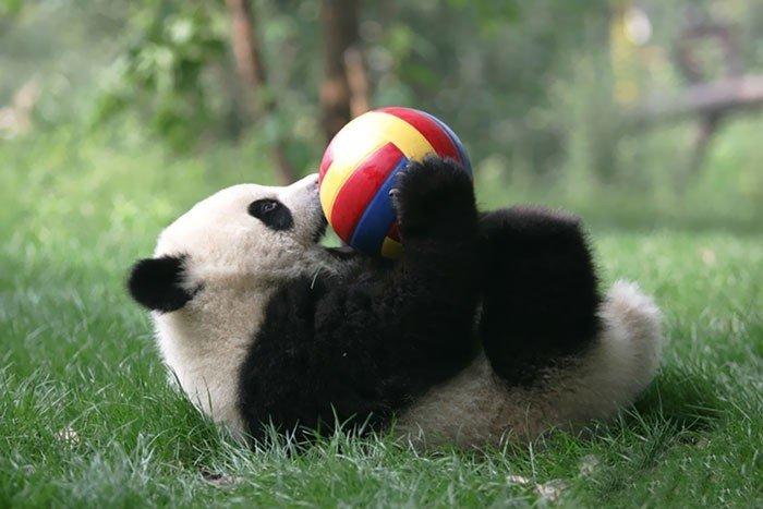 Iespējams, pati jaukākā vieta pasaulē - pandu bērnudārzs