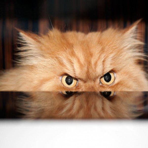 Persijas kaķis