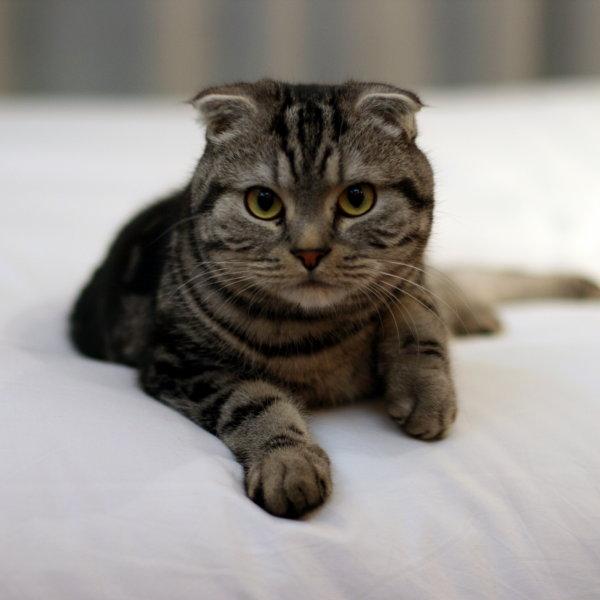 Skotijas nokareno ausu kaķis