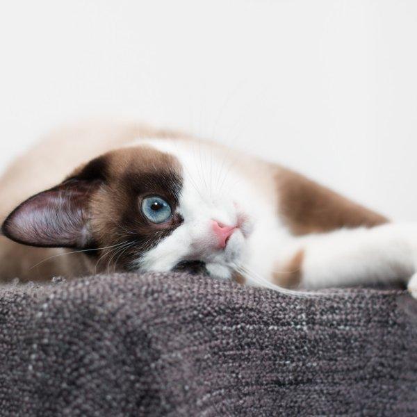 Sniegkurpju kaķis